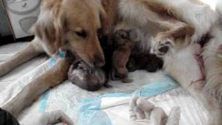 "Golden Retriever, ""brandy"" Giving Birth 52610  12.19pm.mpg"