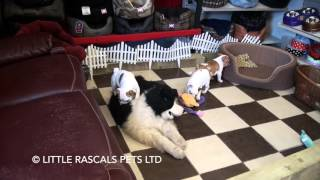 Little Rascals Uk Breeders New Litter Of French X English Bulldogs - Puppies For Sale 2016