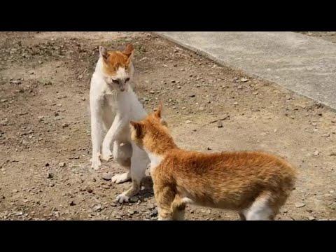 毎日ケンカに明け暮れる猫島の雄猫達