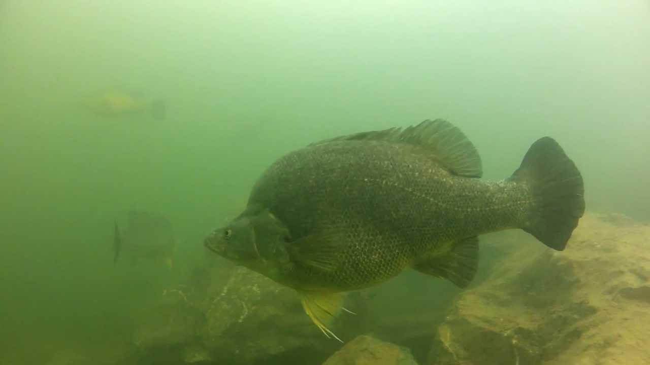 Australian native freshwater fish: Golden perch underwater ...