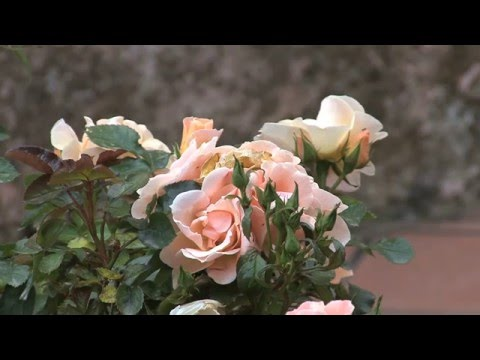 BEAUTIFUL ROSES AND GOOD  OLD TIME MUSIC