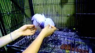 Какаду - продажа полностью ручных птенцов какаду