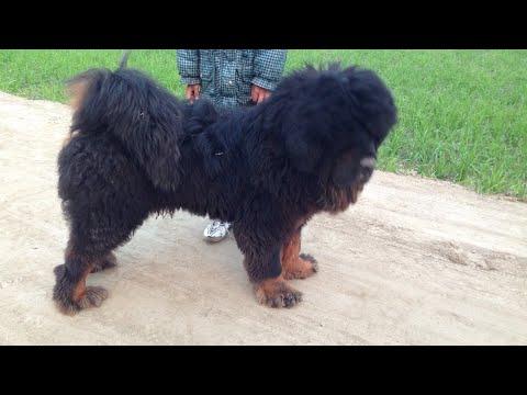 Tibetan mastiff dog india