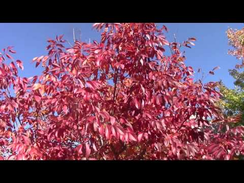 Longmont Fall Trees  2016