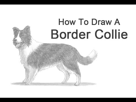 how to draw a dog border collie