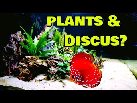 Planted Discus aquarium setup & hand feeding