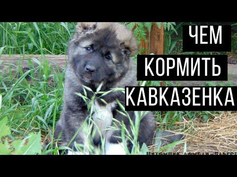 Как кормить: щенки кавказской овчарки. Щенки кавказца. Питомник кавказских овчарок. Домбай-Ульген.