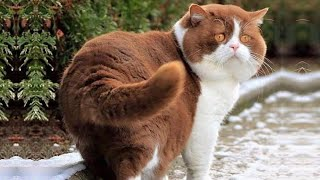 7 Reasons Why You Should Own An Exotic Shorthair Cat