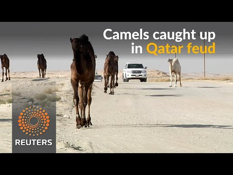 Qatar feud hurts camels stuck at Saudi border