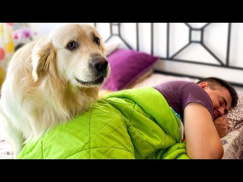What does a Golden Retriever do to Wake Me Up!