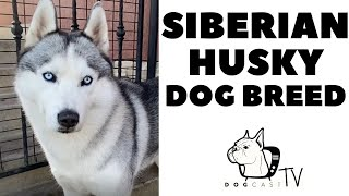 The Siberian Husky Dog Breed  DogCastTV!