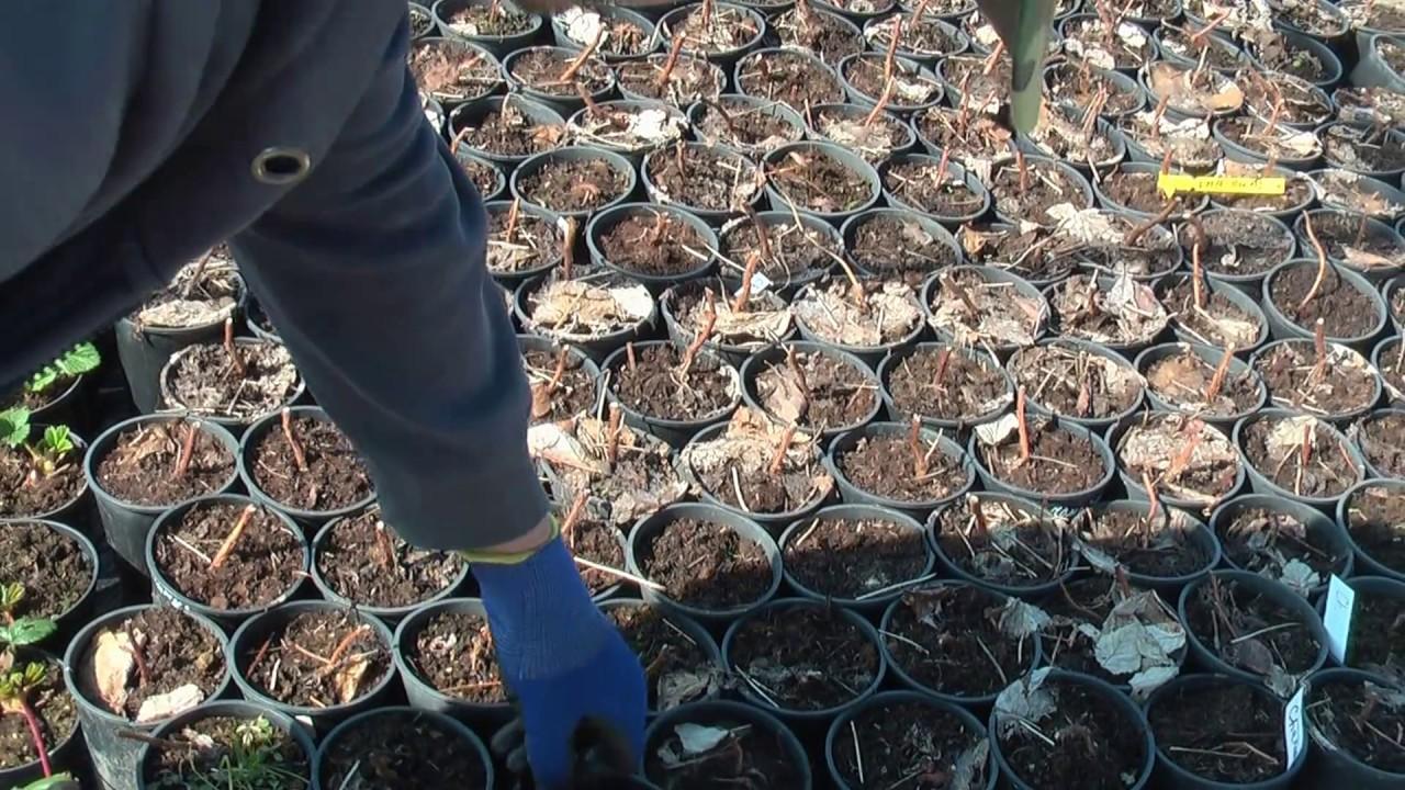 Маточный корень малины Маравилла , эксперимент по выращиванию .