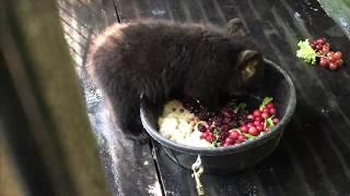 Otto, Rollo, Dani, Summitt and Hawkins Bear - June 10, 2017 thumbnail