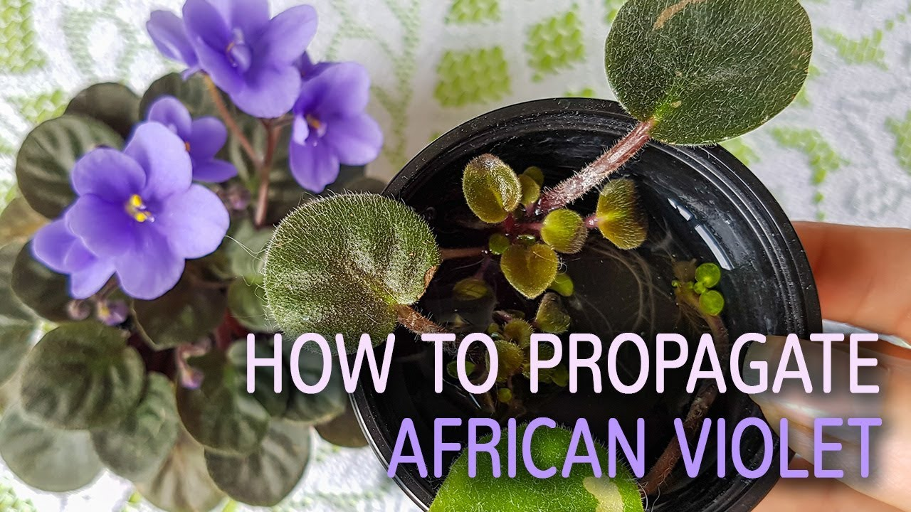 How to water the violets
