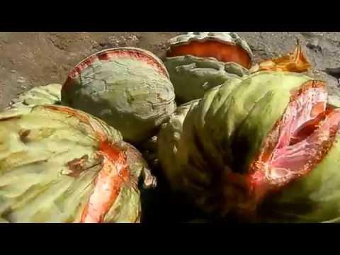 Anona, anonas, anono fruta El Salvador