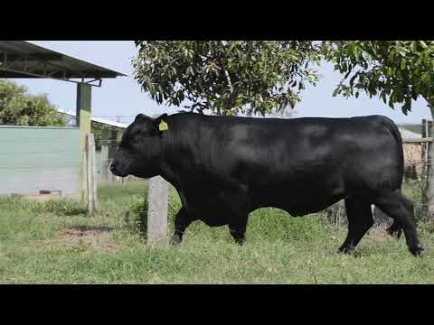LOTE SP10   HOLLYWOOD ANGUS