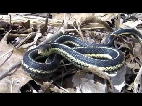 Garter Snake Close-Up