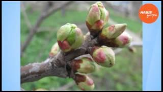 Валерий Черненко – как прививать садовые деревья(, 2016-04-25T14:31:56.000Z)