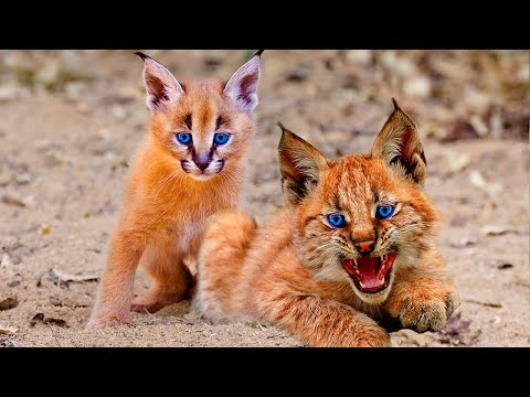 Top 10 RAREST And Most Beautiful Wild Cats On Earth!