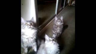 Котята Мейн-кун ваши верные друзья(Котята Мейн кун окрас серебро девочка и голубой мрамор мальчик., свободны для продажи. Прививки по возрасту...., 2016-07-26T07:32:34.000Z)