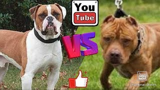 Английский бульдог против Питбуля. English bulldog against Pit bull.