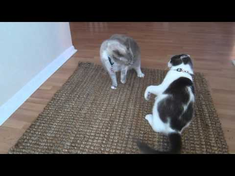 2 Cats Fighting- Check out the Wrestling Moves!