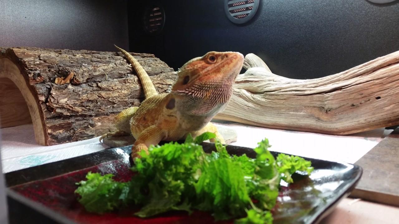 My Bearded Dragon Won T Eat Greens And Veggies Bear Eating A Green Bean