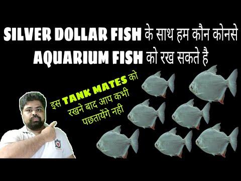 Silver Dollar FIsh के साथ हम कौन से Aquarium Fishes को रख सकते है
