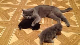 Мама воспитание котят