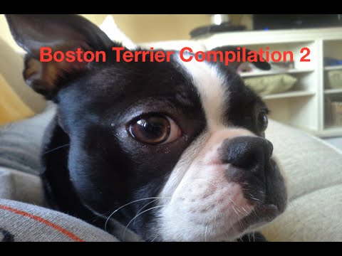 Boston Terrier Compilation 2