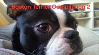 Boston Terrier Compilation 2
