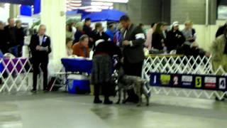 Ckc Dog Show- 2/19/12 - German Wirehaired Pointer