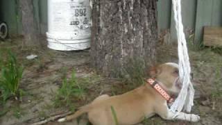 Suki !!! 6 Weeks American Staffordshire Terrier