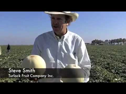 Orange Flesh Melon Harvest at Turlock Fruit Company