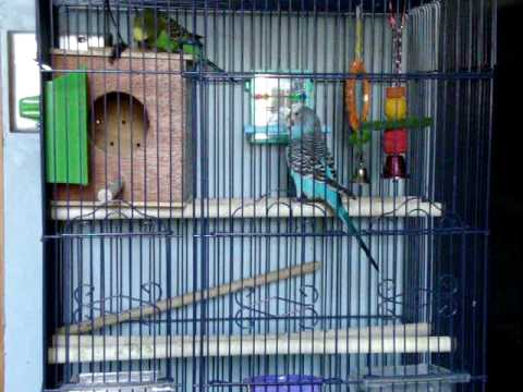 parakeets fighting