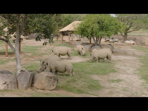 Hope for dwindling northern white rhinos with artificial insemination