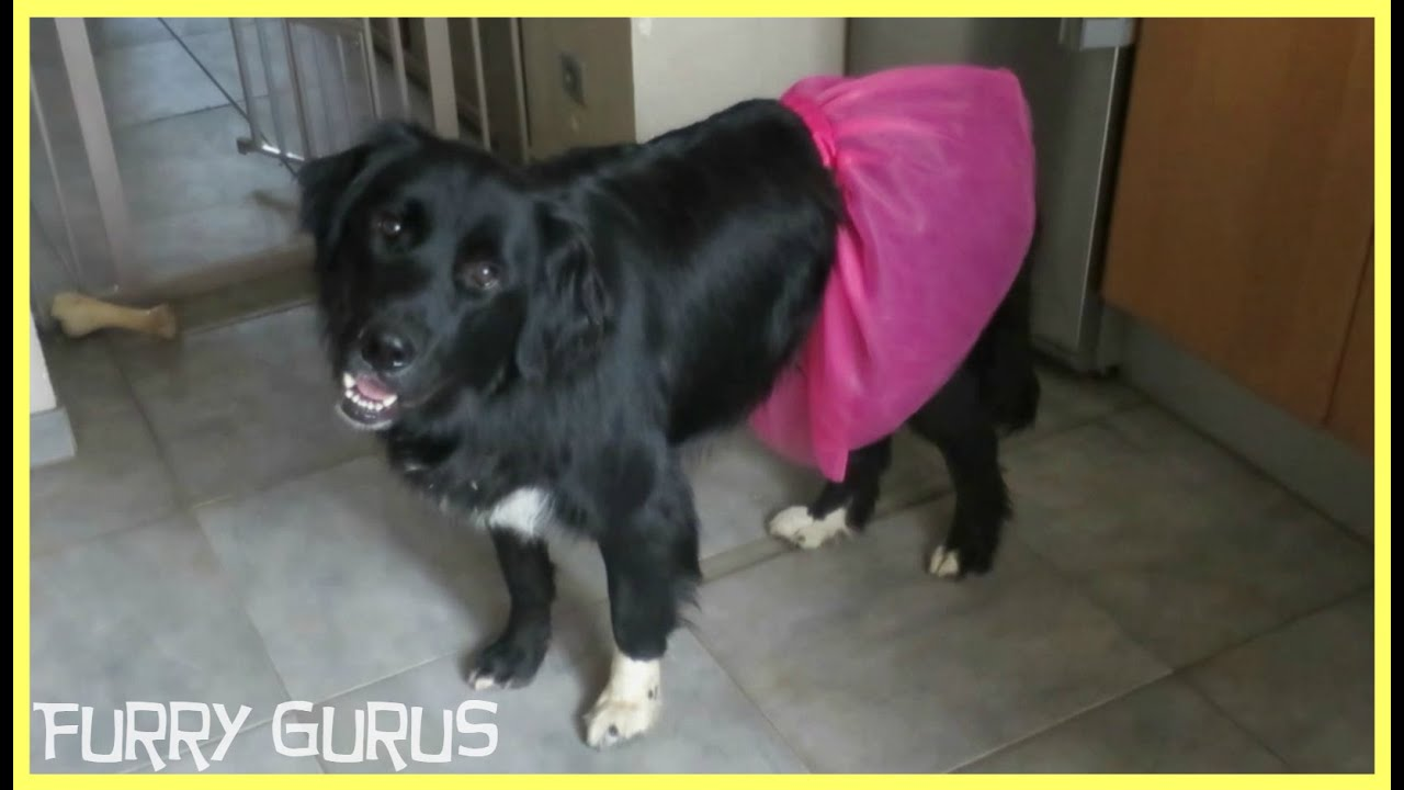 Dog in a Pink Tutu | Ziggy the Golden Retriever - Border Collie Mix ...
