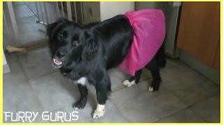 Big Dog In A Pink Tutu | Ziggy The Golden Retriever - Border Collie Mix