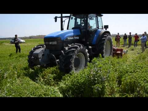 Hairy Vetch – an excellent green manure for dry conditions (Aug 2014)