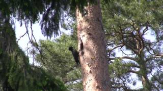Birds of Poland - Raptors & Woodpeckers