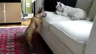 Cairn Puppy Attempts To Retrieve Toy From Westie