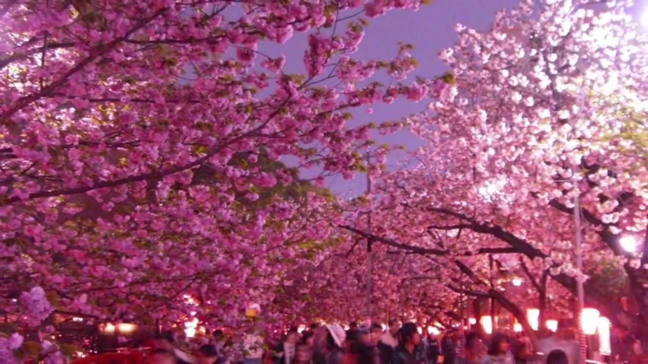 Live Wallpaper Spring Zen Hd 3d Amazing Experience Best Cherry Blossoms In Osaka Castle