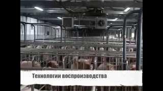 Технологии промышленного свиноводства