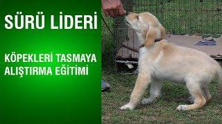 Sürü Lideri - Köpekleri Tasmaya Alıştırma Eğitimi