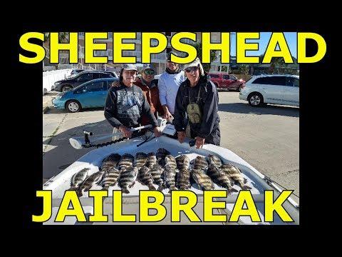 Sheepshead Fishing Port Aransas, Texas With Ghost Shrimp January 2019