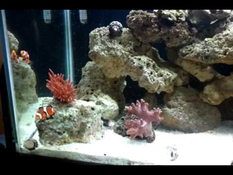 black ocellaris clownfish youtube