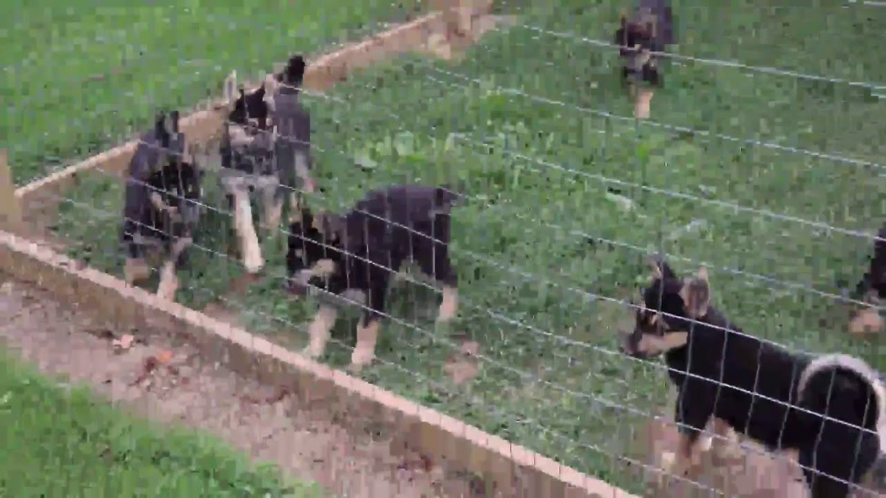 German Shepherd Mix Puppies For Sale - YouTube