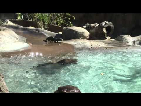 Feeding Time For River Otters- LA Zoo