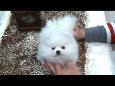 Snow White Is A Tiny Teacup Pomeranian Puppy For Sale Youtube