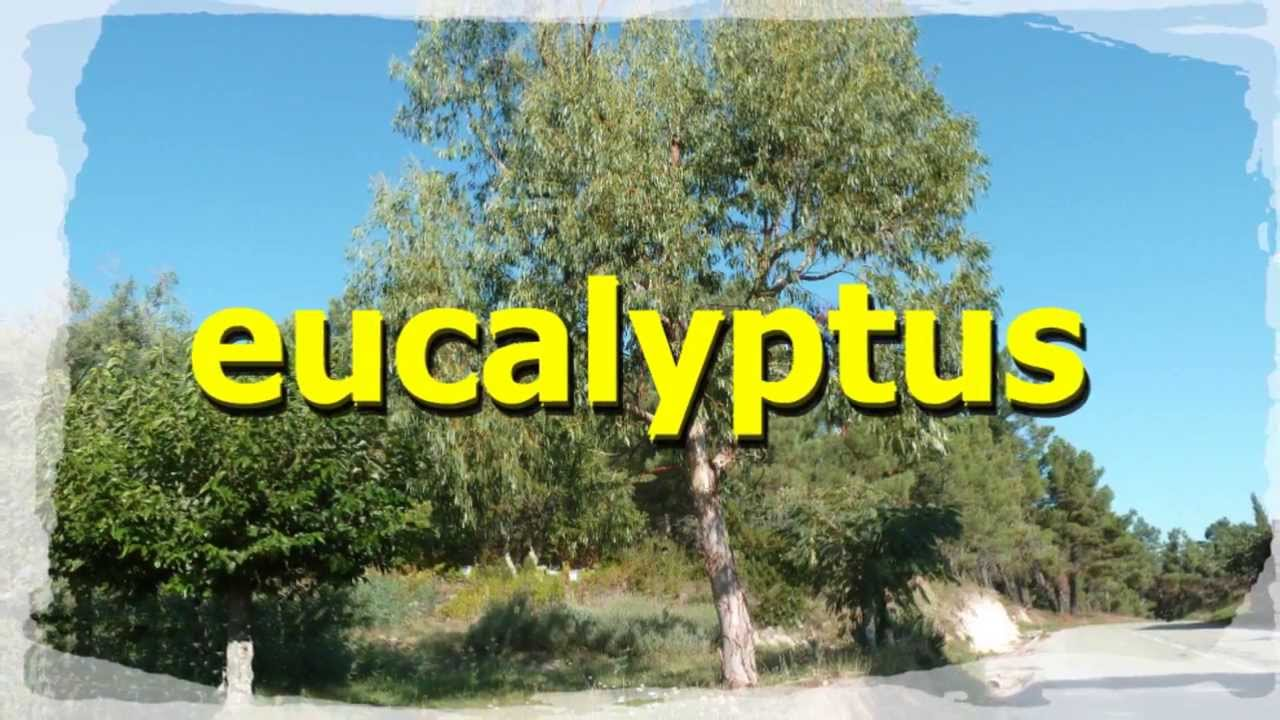 """Résultat de recherche d'images pour """"L'eucalyptus"""""""